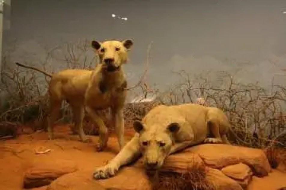 Em 1924, as peles de Sombra e Escuridão foram vendidas ao Museu Field em Chicago e lá permanecem em exposição até hoje.