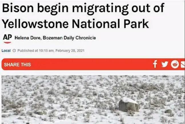bisões começam a migração