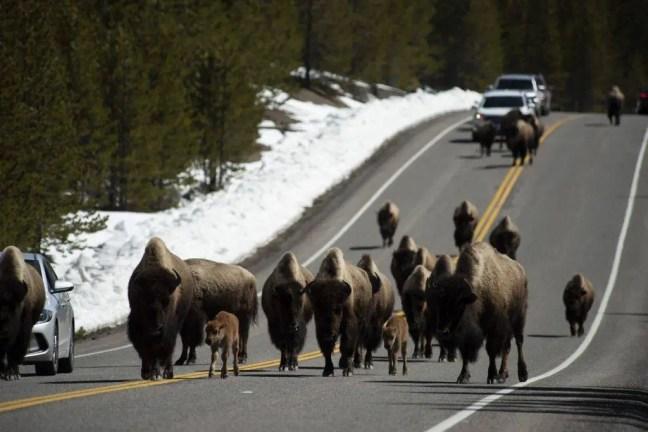 Rebanho de búfalos de Yellowstone.