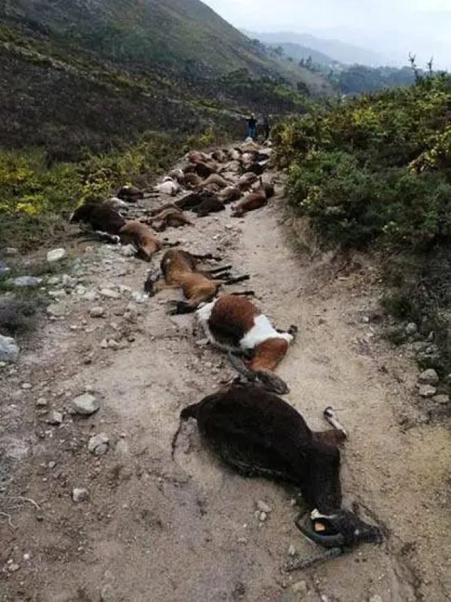 O fazendeiro ficou horrorizado ao encontrar 68 cabras mortas em uma fileira.