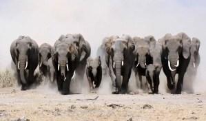 Ótimo! Caçador morre pisoteado por elefantes.