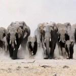 Ótimo! Caçador morre pisoteado por elefantes
