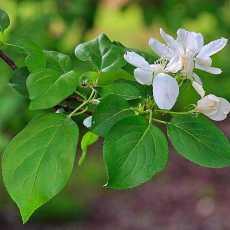 Яблоневые листья — полезные свойства