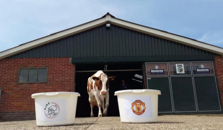 Unbelievable ! Psychic Cow Predicts Manchester Utd Will Lose Europa Final To Ajax 6