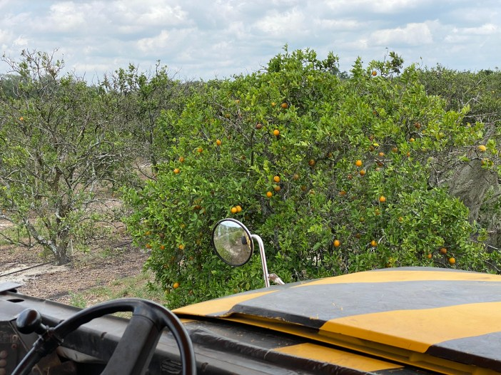 orange tree groves at Showcase of Citrus