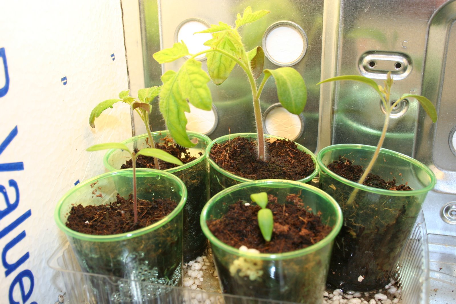 tomato seedlings in the pc grow box. Black Bedroom Furniture Sets. Home Design Ideas