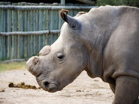 Our One and Only Male Northern White Rhino is Gone