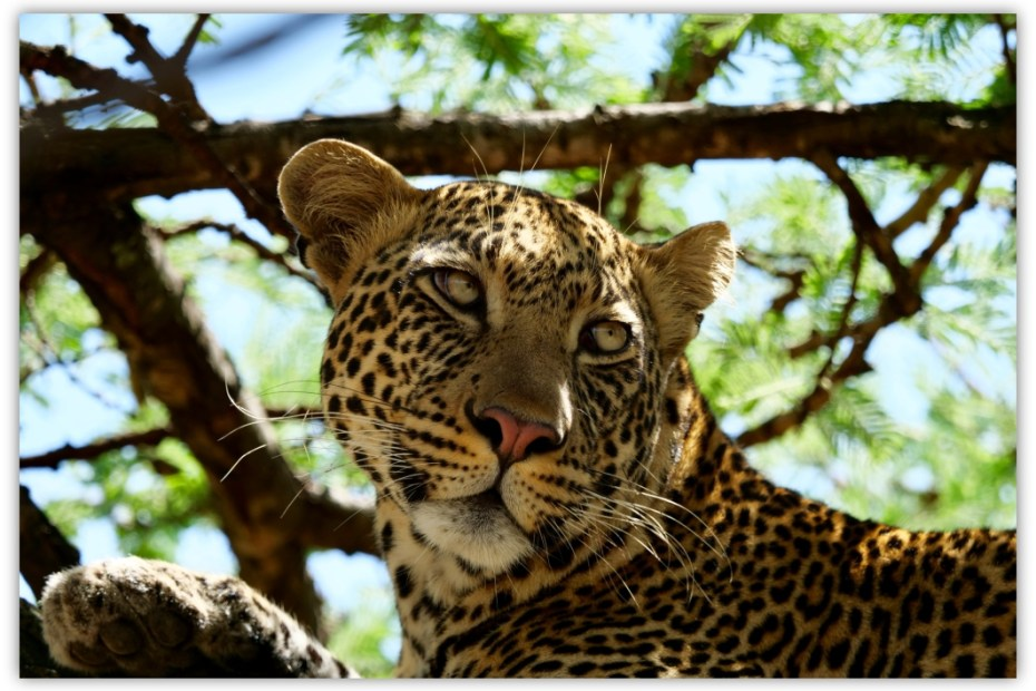 Leopard : Fast and beautiful