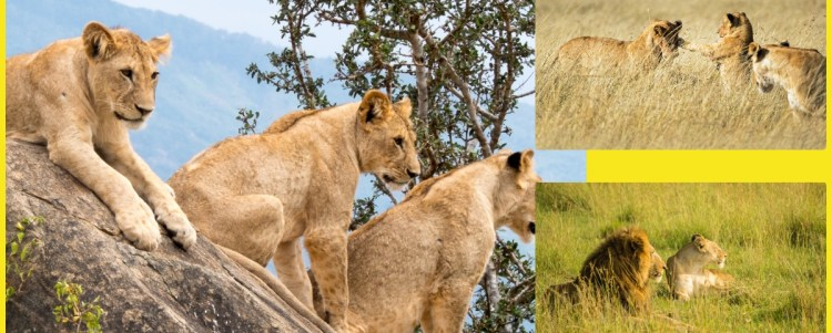 Did you know that Lions are disappearing?