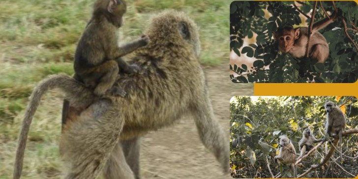 New World versus Old World Monkeys