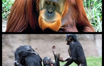 The Greater Apes: Orangutan and Bonobos