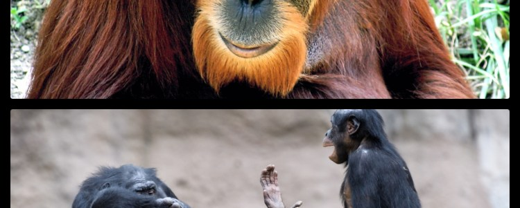 The Greater Apes: Orangutan and Bonobos