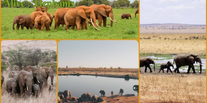 The Largest Mammal on Land Alive : Elephants