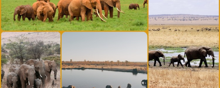 The Largest Mammal on Land Alive : Elephants