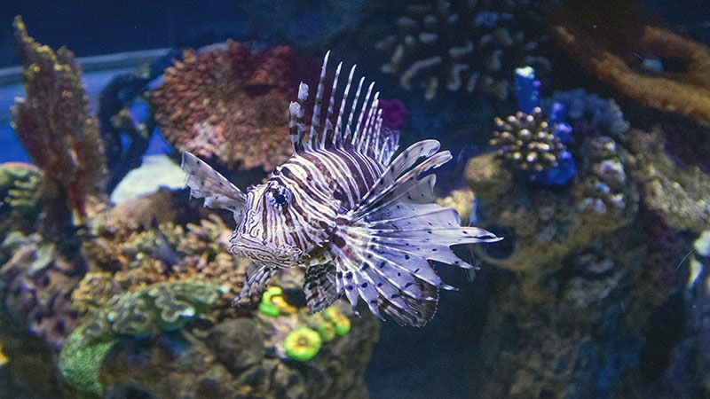 דג רעיל באקווריום ישראל