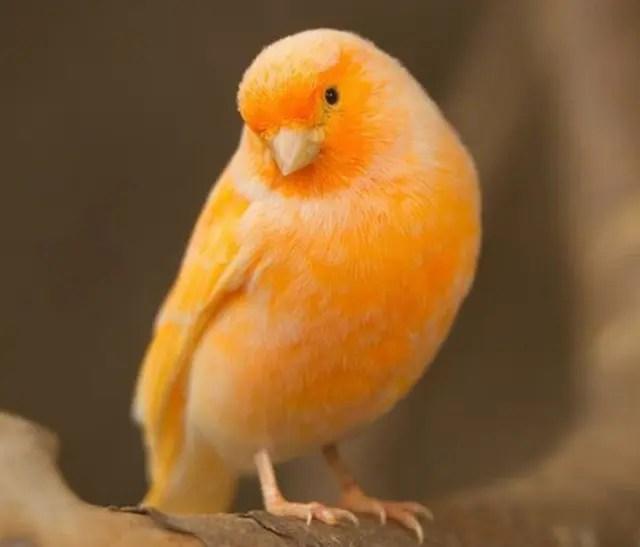鳴き声を聞く鳥【カナリヤ】