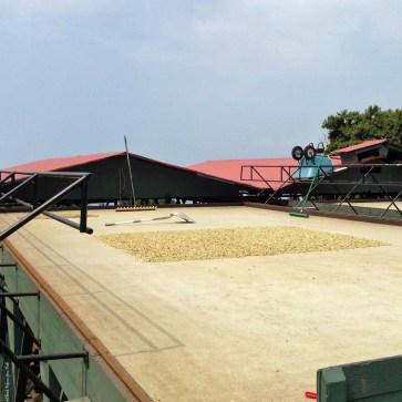 Coffee beans drying at Greenwell Farms - Kealakekua, HI