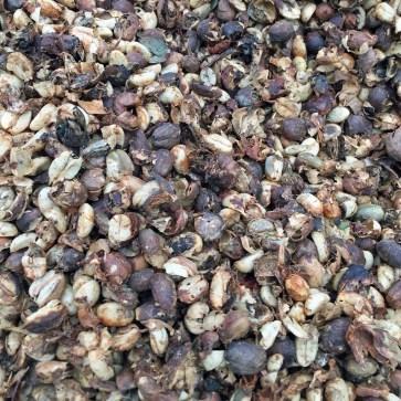 Dried coffee cherry beans at Holualoa Kona Coffee Company - Holualoa, HI
