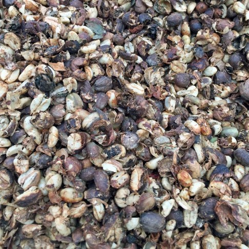 Dried coffee cherry beans at Holualoa Kona Coffee Company - Holualoa, HI