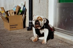 Bulldog en Hervás. Otoño 2015
