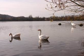 Geese at the Westport lake, Stoke on Trent