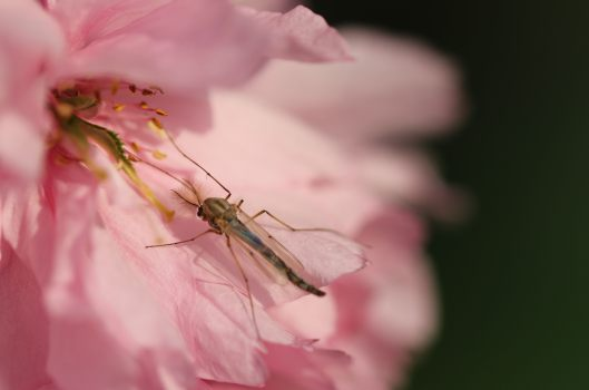 Insect on pink blossom macro photo