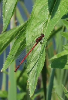 Red damselfly insect macro photo