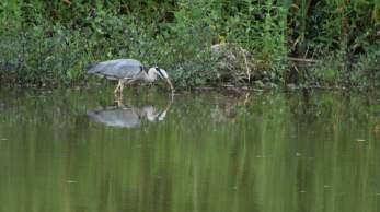 Heron in Etruria, Stoke on Trent