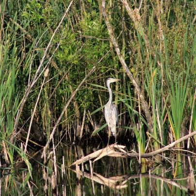 Stoke heron