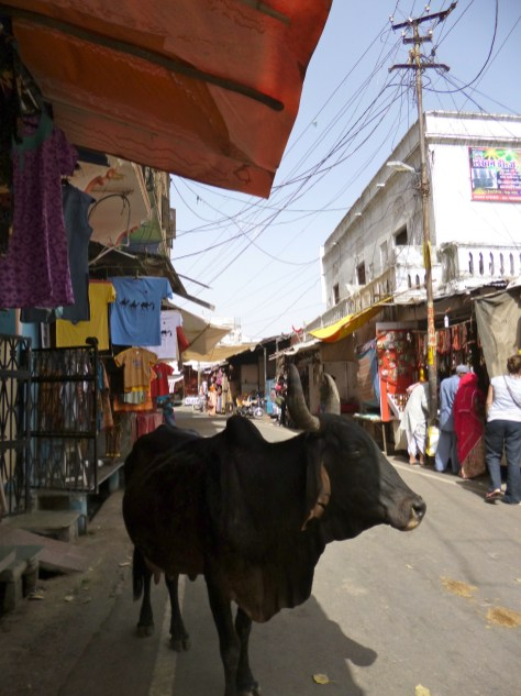 Cows in the Street, India