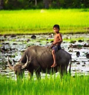 水牛を操る少年