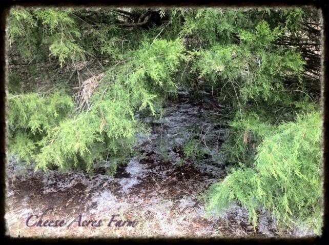 Snowy ice under my tree