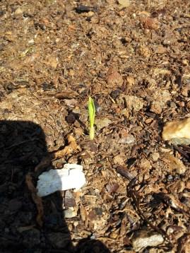 little corn sprout