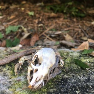 squirrel skull