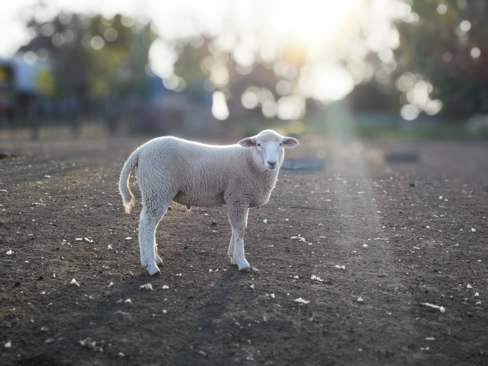 lamb standing in dirt area