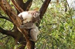 Koala :-)