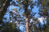big Jarra trees