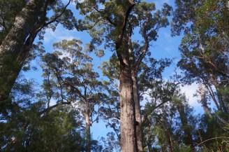 big Jarra trees