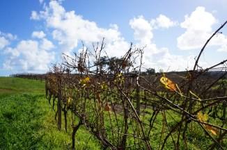 vineyards at Margareth River