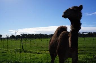 finally a camel