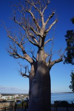 Boab tree in Kings Park