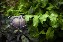 Red Cabbage and Chioggia Beetroot