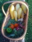 Basket of garden veggies
