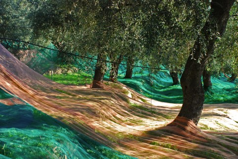 oliveto monocultivar taggiasca in liguria
