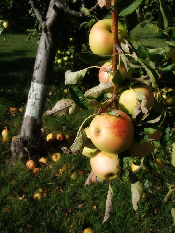 Apples in Umbria, Italy.