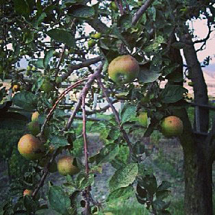 Apples growing in Umbria, Italy