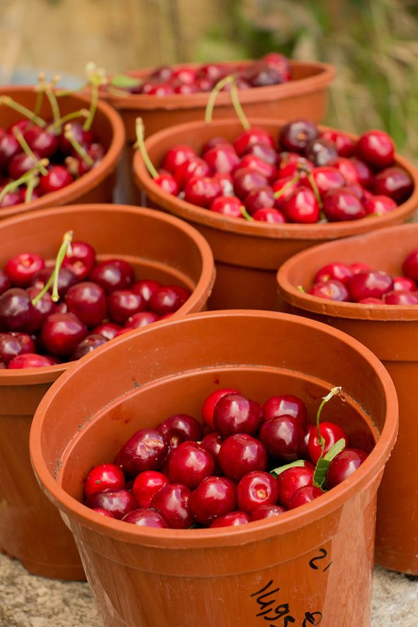 Freshly picked cherries in Provence, France.