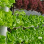 Salad grown using hydroponics in Haiti © Jardins Hydroponiques d'Haiti
