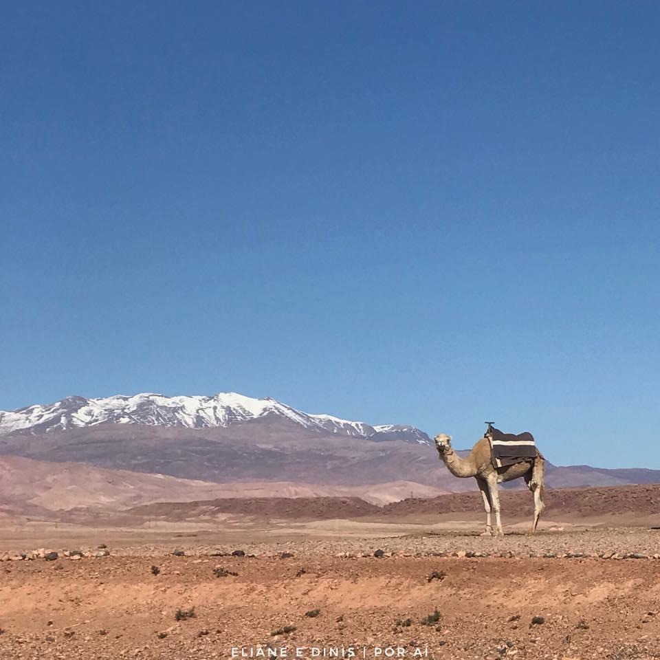 Camelo, Montanha do Atlas, Marrocos