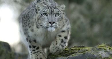 Россиянин сфотографировал редчайшего хищника в дикой природе